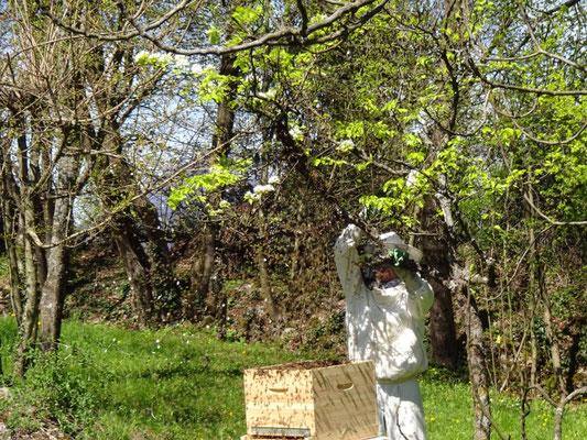 Enruchage d'un essaim en secouant une branche