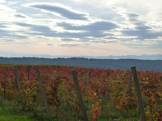 Vineyard of Madiran