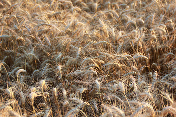 champs de blé sur les collines du Domaine de Brousse, AOP Gaillac
