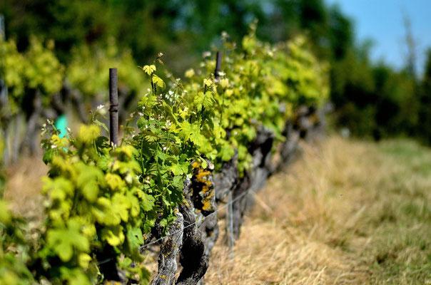 Les vignes du Domaine de Brousse, AOP Gaillac