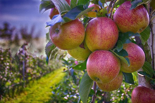 Obst aus dem Alten Land