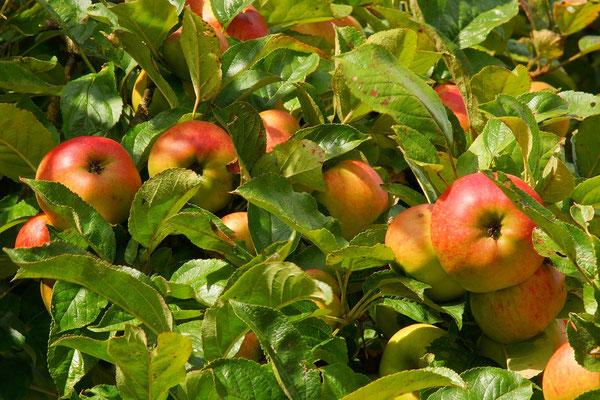 Altländer Apfel