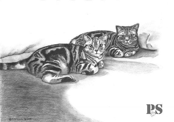 Grafithzeichnung A3 zwei Britishkurzhaar Katzen