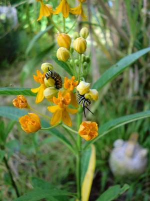 Indianer-Seidenpflanze gelb