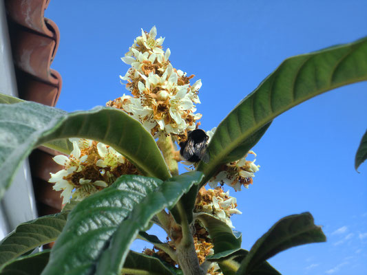 """Eriobotrya japonica - """"nísperero"""""""
