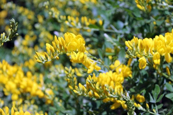 Gacía, gelbe Farbtupfer im frischen Grün