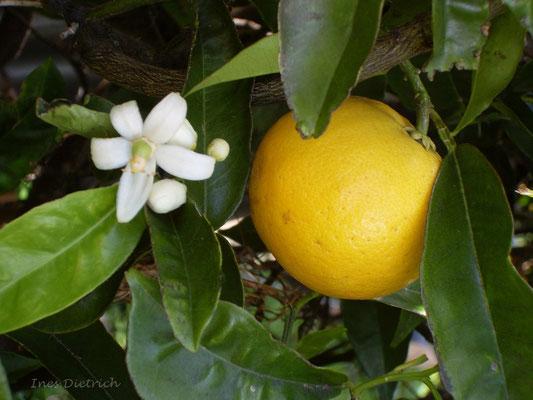 Orangenbäume tragen jetzt Blüten und Früchte