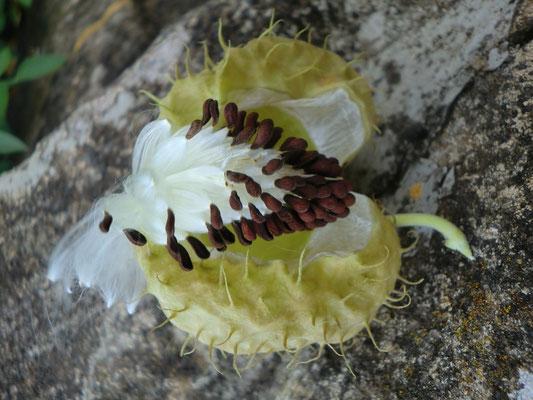 Samen Baumwoll-Seidenpflanze