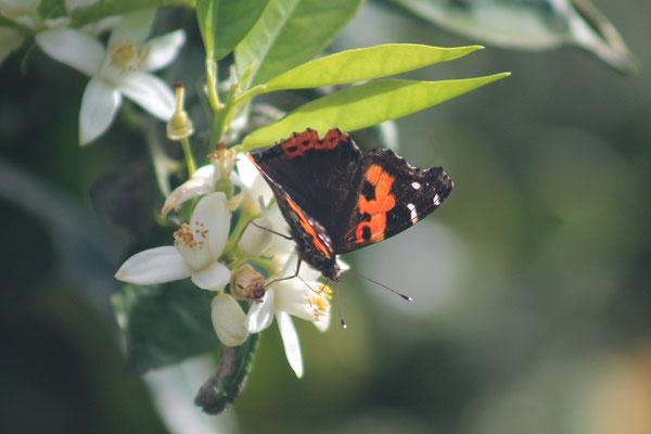 Kanarischer Adminral auf Orangenblüte