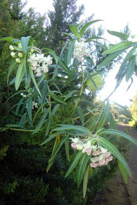 Baumwoll-Seidenpflanze