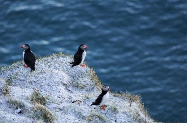 Puffins at Dyrhólaey