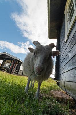 ...sheeps...
