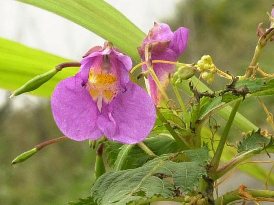 ワタラセツリフネソウの花 (黄・斑)型