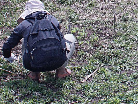 サクラソウのまわりにはセイタカアワダチソウの芽生えがいっぱい!