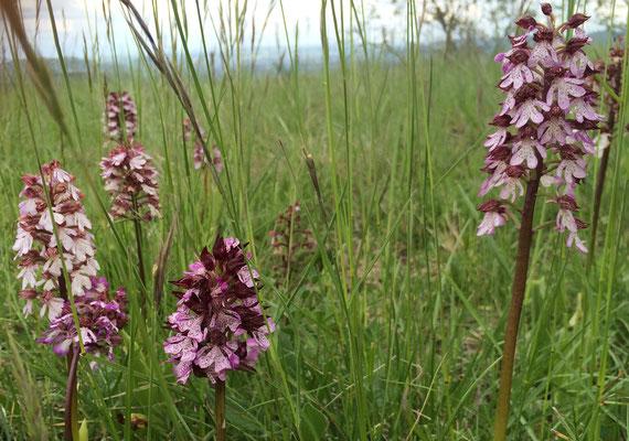 Très proche de La Villa Victoria Auvergne, les orchidées sauvages du plateau du Trap.
