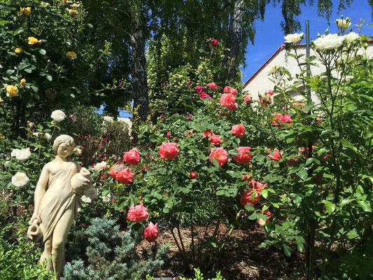 Les rosiers du jardin des chambres d'hôtes La Villa Victoria Auvergne.