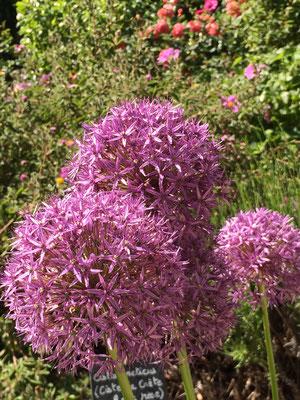 L'ail décoratif du jardin des chambres d'hôtes La Villa Victoria Auvergne.