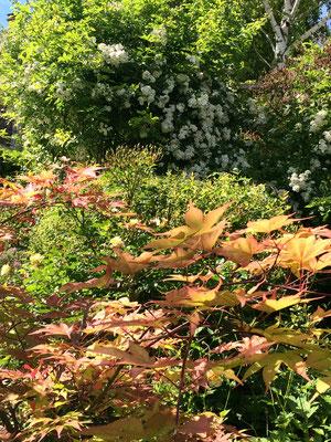 L'érable du Japon du jardin des chambres d'hôtes La Villa Victoria Auvergne.