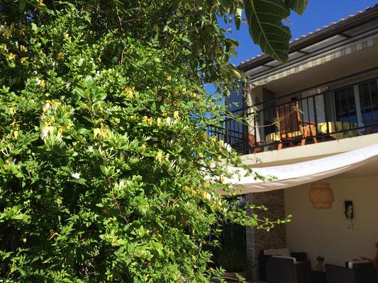 Le chèvrefeuille Japonica Halliana qui embaume la terrasse du petit-déjeuner des chambres d'hôtes de La Villa Victoria.