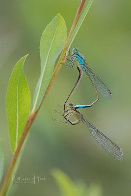 Paarung Große Pechlibellen