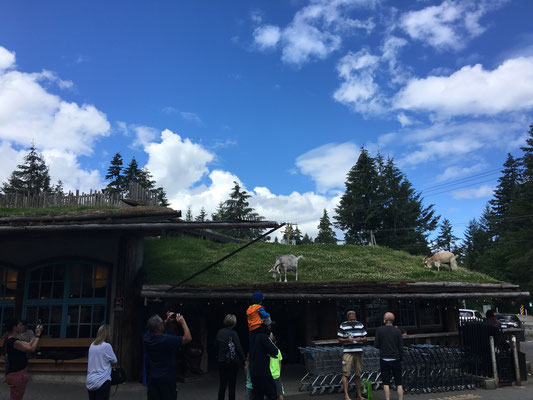 Goats on the roof!