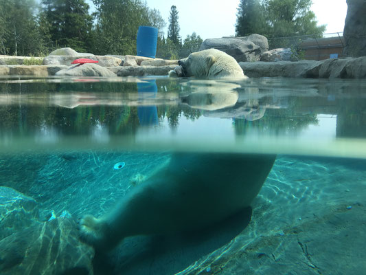 Cochrane hat in der Tat ein eigenes Polar Bear Habitat. Hier ist einer der drei Inhabitants gerade am Schmausen bei gefühlten 35° C.
