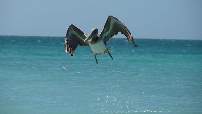 Pelikan beim Start