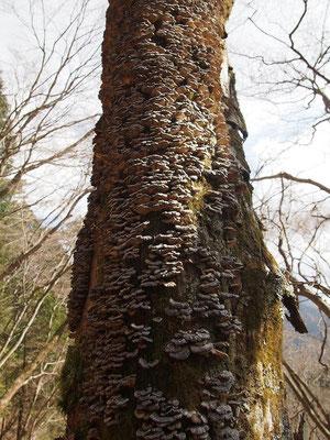 朽ちた立木にカワラタケ
