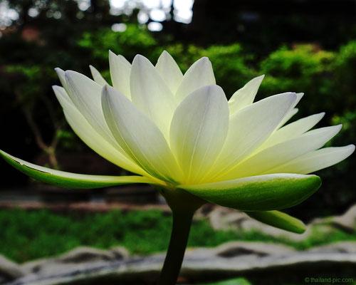 Lotus Flower At Wat Sangkhathan - Nonthaburi - Thailand