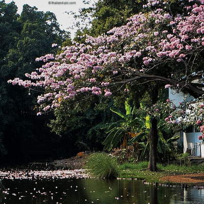 When the blossoms go swimming - Bangkok - Thailand - Kasetsart University
