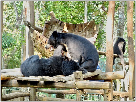 Bears At Kouangxi Waterfall Park