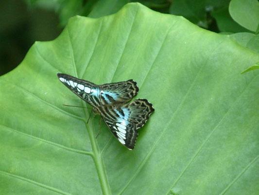 Butterfly - Phuket