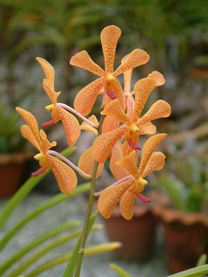 Phuket - Orchid -