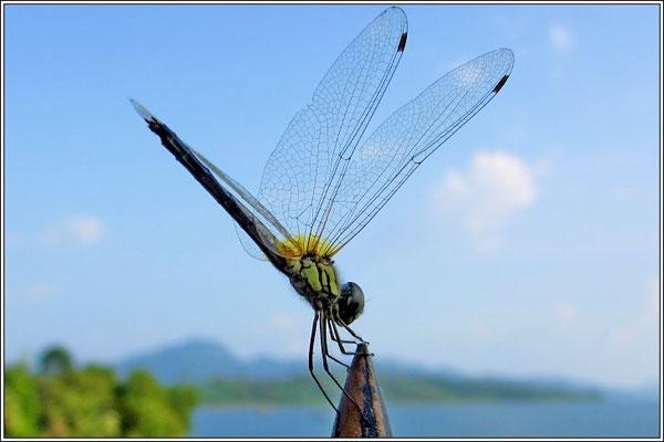Dragonfly - Sangkhlaburi