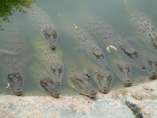 Phuket - Zoo - Crocodiles