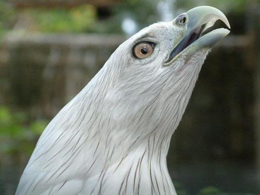 Phuket - Fish Eagle -