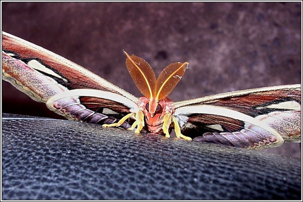 Phuket - Atlas Moth