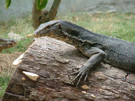 Phuket - Lizard -