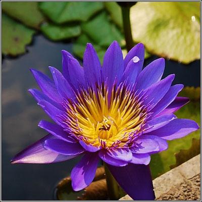 Water Lily At Chaloem Kanchanaphisek Park - Nonthaburi