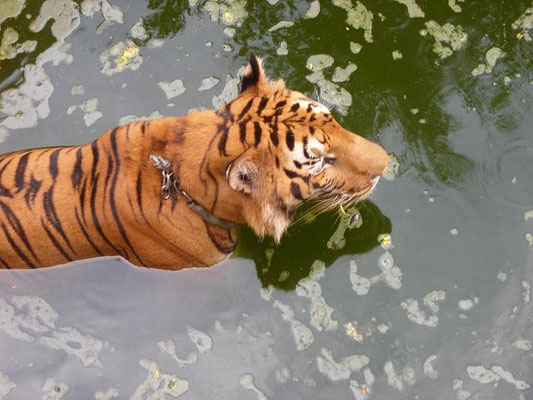 Kanchanaburi - Tigertemple -