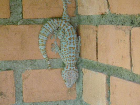 Phuket - Gecko -
