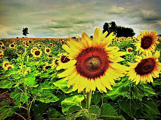 Sunflower field at the country side of Nakhon Sawan