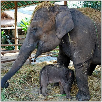 Elephant With A Baby - Chiang Rai