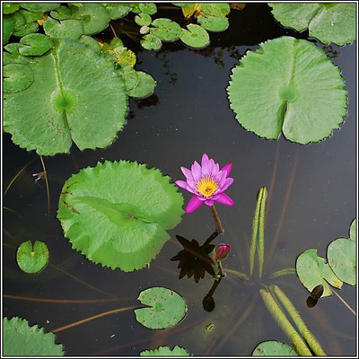 Water Lily Lotus Flower At Chaloem Kanchanaphisek Park - Nonthaburi