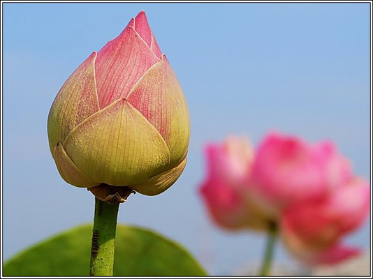 Lotus Flower At Chaloem Kanchanaphisek Park - Nonthaburi