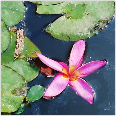 Flower At Chaloem Kanchanaphisek Park - Nonthaburi