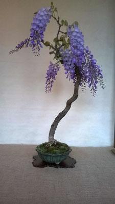 Glicine - wisteria sinensis