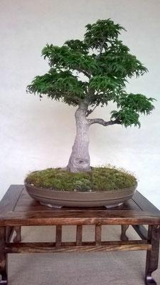 Acero palmatum crispifolium - 'Shishigashira'