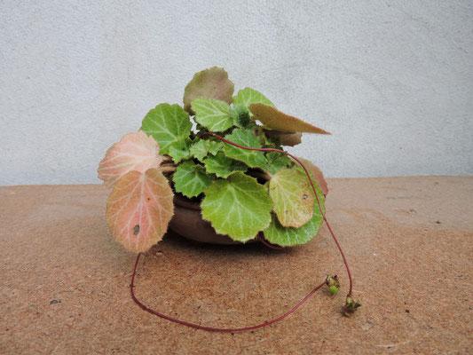 Alfonsina e le piante di compagnia