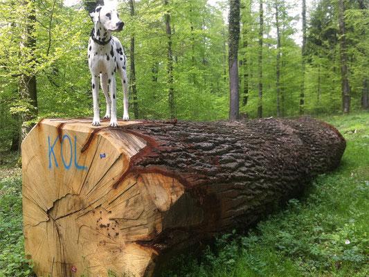 die Baumstämme werden auch immer dicker, da kann man richtig klettern, freu